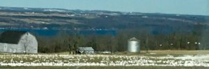 White geese in a field with the lake in the distance.