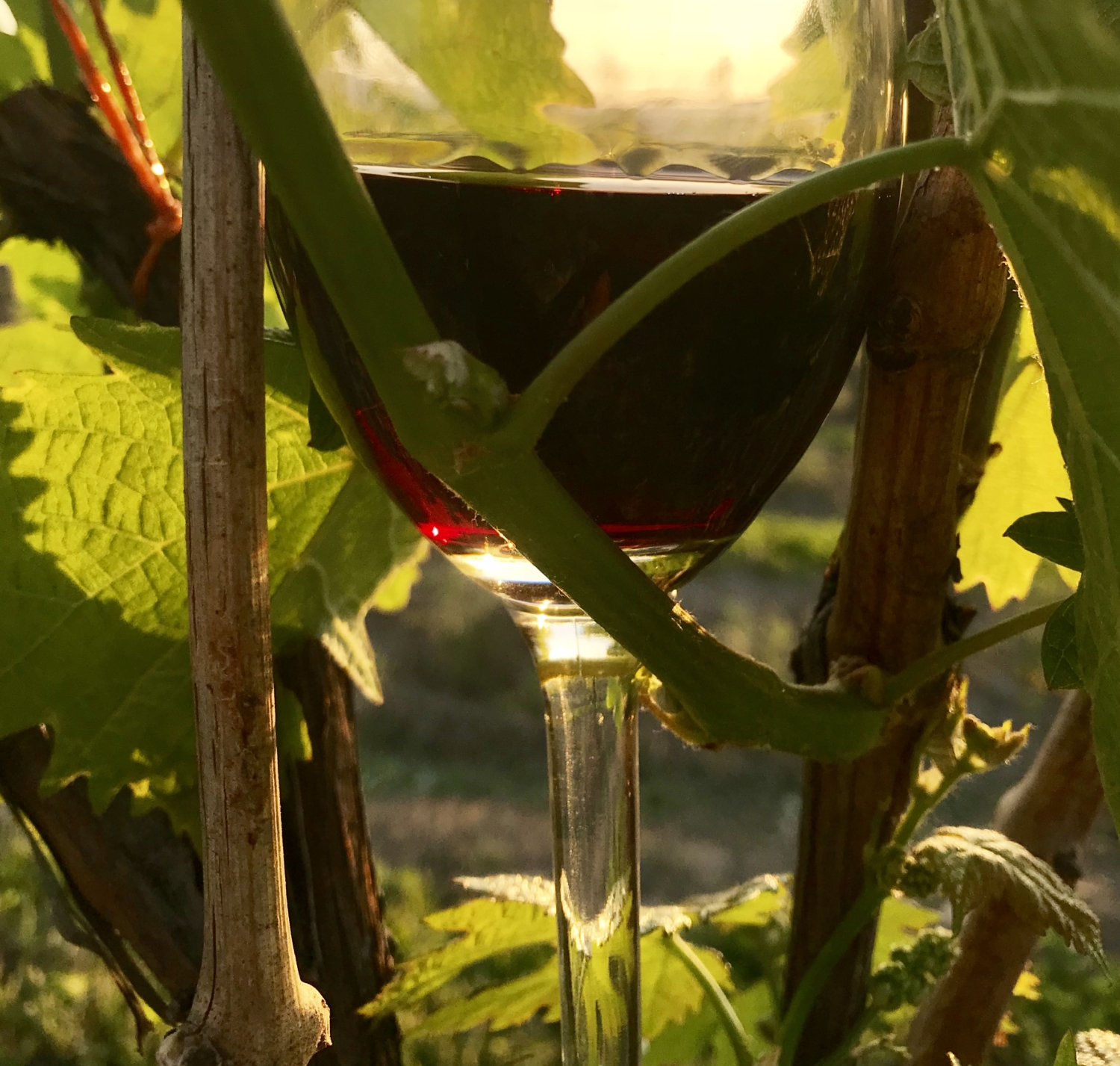 Tillinghast Manor - Glass of Red Wine in grape vines